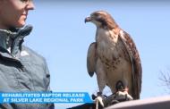 Prince William park ranger releases rescued hawk