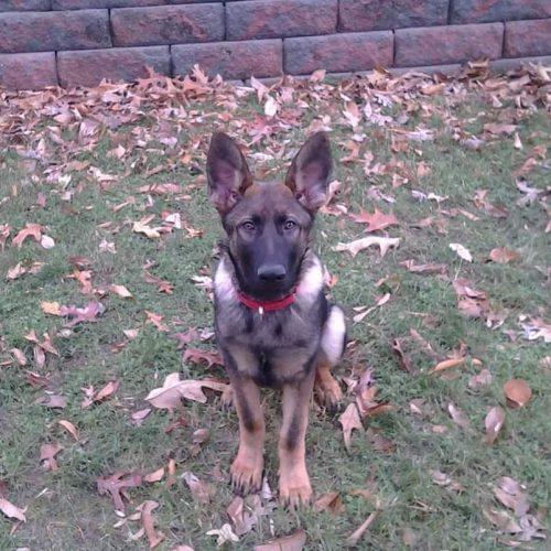 Semper K9 adopts Rona & Timmy - future service dogs for local veterans