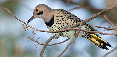Prince William Conservation Alliance hosting Christmas Bird Count, Dec. 26