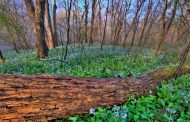 Prince William Conservation Alliance to host Bluebell Festival, April 8
