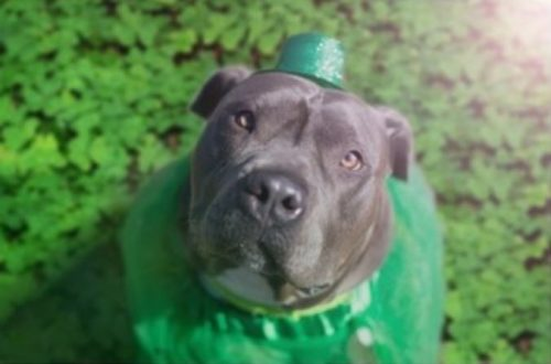 "Prince William Humane Society to host ""St. Pittie's Day O'Dopt-a-thon"""