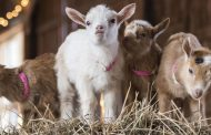 Goat yoga event raising funds for Northern Virginia non-profit