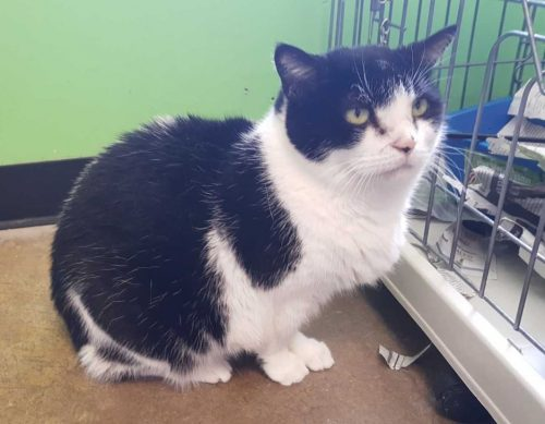 Senior cat available for adoption at humane society