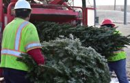 Christmas trees getting recycled in Gainesville