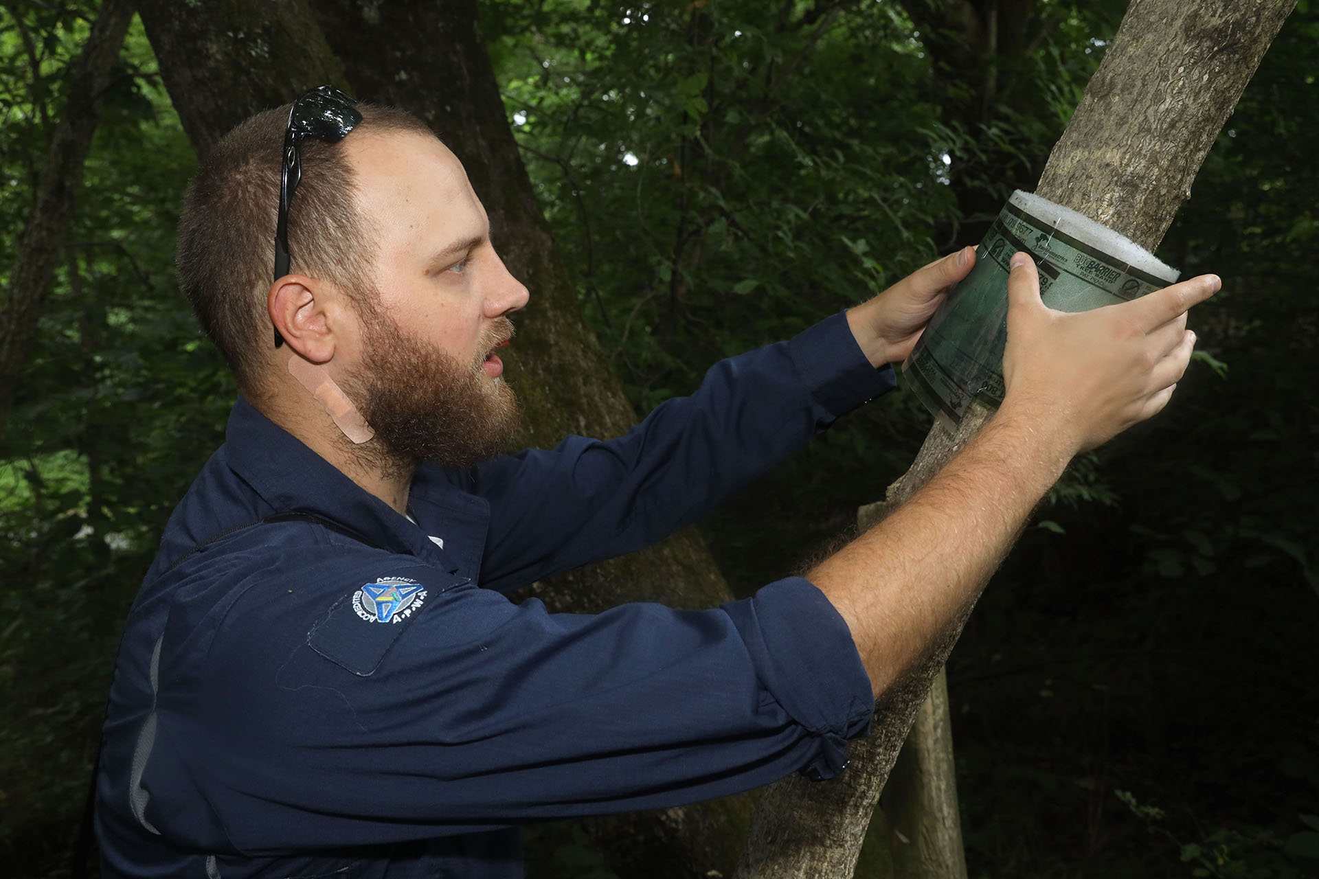 Spotted Lanternfly population being monitored